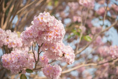 Tabebuia rosea is a Pink Flower neotropical. Tree. common name Pink trumpet tree, Pink poui, Pink tecoma, Rosy trumpet tree, Basant rani Stock Image