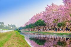 Tabebuia rosea is a Pink Flower neotropical tree in Nakhon Patho. Tabebuia rosea is a Pink Flower neotropical tree. common name Pink trumpet tree, Pink poui Royalty Free Stock Images