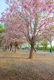 Tabebuia rosea is a Pink Flower neotropical tree in Nakhon Patho. Tabebuia rosea is a Pink Flower neotropical tree. common name Pink trumpet tree, Pink poui Stock Photos