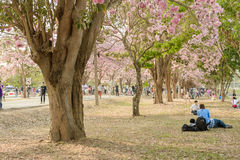 Tabebuia rosea is a Pink Flower neotropical tree in Nakhon Patho. Tabebuia rosea is a Pink Flower neotropical tree. common name Pink trumpet tree, Pink poui Stock Image
