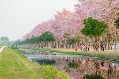 Tabebuia rosea is a Pink Flower neotropical tree in Nakhon Patho. Tabebuia rosea is a Pink Flower neotropical tree. common name Pink trumpet tree, Pink poui Royalty Free Stock Image