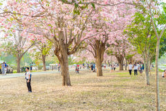 Tabebuia rosea is a Pink Flower neotropical tree in Nakhon Patho. Tabebuia rosea is a Pink Flower neotropical tree. common name Pink trumpet tree, Pink poui Stock Photography