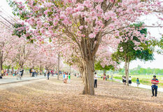 Tabebuia rosea is a Pink Flower neotropical tree in Nakhon Pathom. Tabebuia rosea is a Pink Flower neotropical tree. common name Pink trumpet tree, Pink poui Royalty Free Stock Image