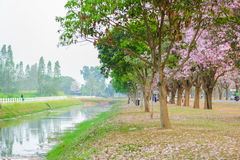 Tabebuia rosea is a Pink Flower neotropical tree in Nakhon Pathom. Tabebuia rosea is a Pink Flower neotropical tree. common name Pink trumpet tree, Pink poui Royalty Free Stock Photos