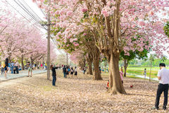 Tabebuia rosea is a Pink Flower neotropical tree in Nakhon Pathom. Tabebuia rosea is a Pink Flower neotropical tree. common name Pink trumpet tree, Pink poui Stock Photos