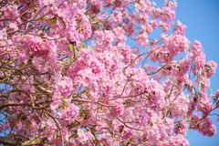 Tabebuia rosea is a Pink Flower neotropical tree. Common name Pink trumpet tree, Pink poui, Pink tecoma, Rosy trumpet tree, Basant rani Royalty Free Stock Photography