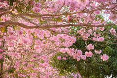 Tabebuia rosea is a Pink Flower neotropical tree. Common name Pink trumpet tree, Pink poui, Pink tecoma, Rosy trumpet tree, Basant rani Stock Image