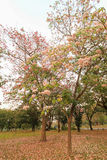 Tabebuia rosea(pink poui,rosy trumpet tree). Neotropical tree.Flowers are large, in various tones of pink to purple, and appear while the tree has none, or very Stock Image