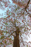 Tabebuia rosea(pink poui,rosy trumpet tree). Neotropical tree.Flowers are large, in various tones of pink to purple, and appear while the tree has none, or very Stock Photos