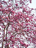 Tabebuia rosea Royalty Free Stock Images