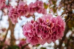 Tabebuia-rosea Rosa-Trompetenblume Lizenzfreie Stockfotografie