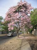 Tabebuia rosea on street view in Guayana city, Venezuela. Tabebuia rosea, also called pink poui, and rosy trumpet tree is a neotropical tree that grows up to stock image