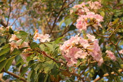 Tabebuia rosea Royalty Free Stock Photography