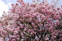 Tabebuia roseablomma Royaltyfri Foto