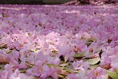 Tabebuia roseablomma Royaltyfri Fotografi