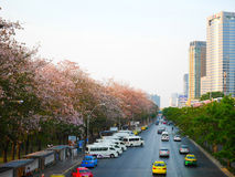 Tabebuia roseaträd eller rosa trumpetträd är i blom längs th Royaltyfri Fotografi