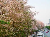 Tabebuia roseaträd eller rosa trumpetträd är i blom längs th Arkivfoton