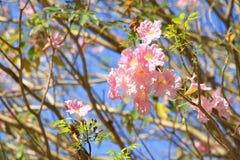 Tabebuia söt rosa färgblomma Arkivfoto