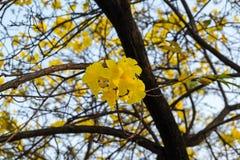 Tabebuia spectabilis 免版税库存照片