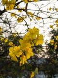 Tabebuia spectabilis. The tabebuia spectabilis flower and tree Stock Photos