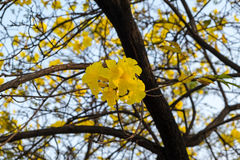 Tabebuia spectabilis. Flower and  tree Royalty Free Stock Photo