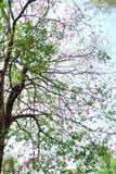 Tabebuia träd Arkivfoto