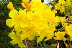 Tabebuia träd av den guld- blomman Arkivbild