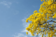 Tabebuia tree Arkivfoton