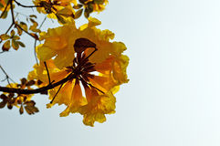 Tabebuia tree blooms in yellow. In spring in thailand Royalty Free Stock Photo