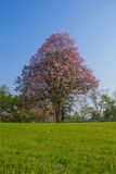 Tabebuia tree and Grass Royalty Free Stock Images
