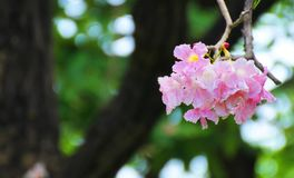 Tabebuia zoete roze bloem die in Thailand bloeien Royalty-vrije Stock Afbeelding