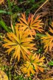 tabella variopinta della zucca dell'accumulazione di autunno Foglie scolpite giallo dell'erba della foresta Fotografia Stock Libera da Diritti