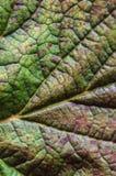 tabella variopinta della zucca dell'accumulazione di autunno Ribes della foglia Macro Fotografia Stock