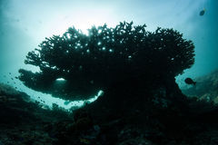 Tabelle Coral Silhouette Lizenzfreies Stockbild