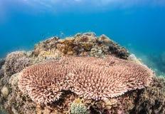 Tabellen-Koralle Lizenzfreie Stockfotografie