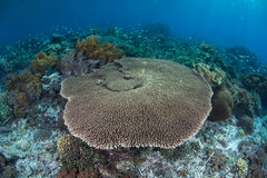 Tabellen-Koralle und Riff-Fische Stockfotos