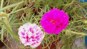 Tabellen steg blommor Royaltyfria Foton
