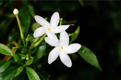 Tabernaemontana Apocynaceae Royalty Free Stock Images