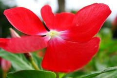 Tabernaemontana divaricata Blume lizenzfreies stockfoto
