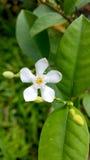Tabernaemontana divaricata oder Krepp-Jasmin- oder Feuerradblume Lizenzfreie Stockbilder