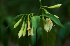 Tabernaemontana pandacaqui Lam. White wilt flower with some of them still waitting to bloom Stock Photos