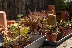 Tabla idílica romántica de la planta en el jardín con los potes, los utensilios de jardinería y las plantas retros viejos de la m Foto de archivo