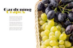 Table blue and yellow grapes in the basket with copyspace on white background Stock Photography