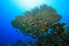 Table Coral Stock Photos