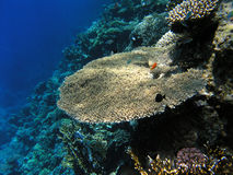 Table Coral. On Red Sea reef wall Royalty Free Stock Image