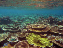 Table coral. A group of healthy table coral in maldivian coral reef Royalty Free Stock Images