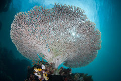 Table Coral. A table coral (Acropora sp.) grows in shallow water in Indonesia. This region is known for its high marine biological diversity and great scuba Royalty Free Stock Images