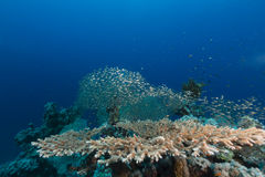 Table coral and the aquatic life in the Red Sea. Stock Photos