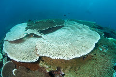 Table Coral Bleaching in Indonesia Royalty Free Stock Image