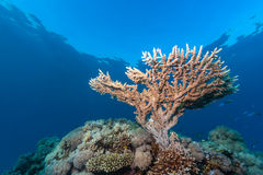 Table coral growing towards the surface. A small staghorn coral grows near the surface of a coral reef stock images